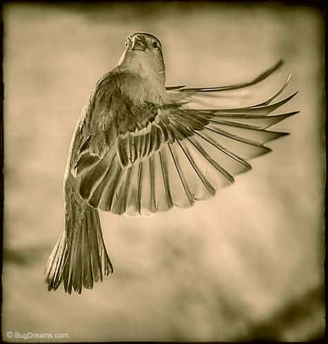A songbird's wings carry the wind's secrets
