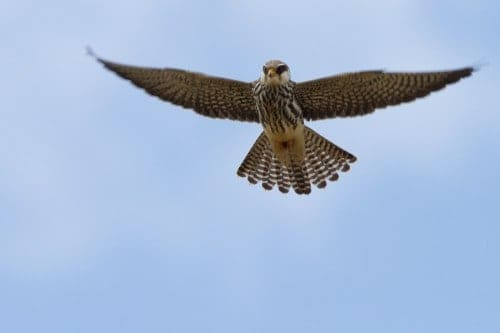 Amur Falcon | Falco amurensis
