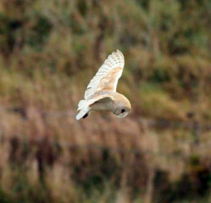 Nice Barn Owl made up for no showing Bittern