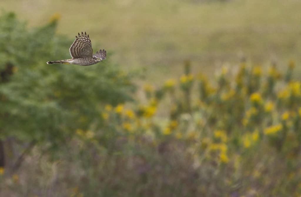 Eurasian Sparrowhawk | Accipiter nisus nisosimilis