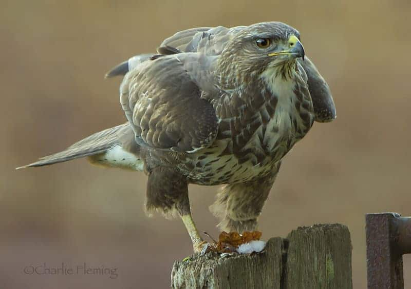 Common Buzzard……whats in a name?
