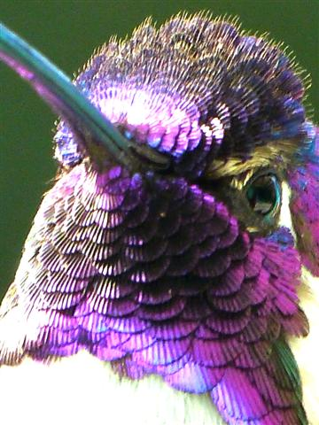iridescence of costa s hummingbird s feathers focusing on wildlife