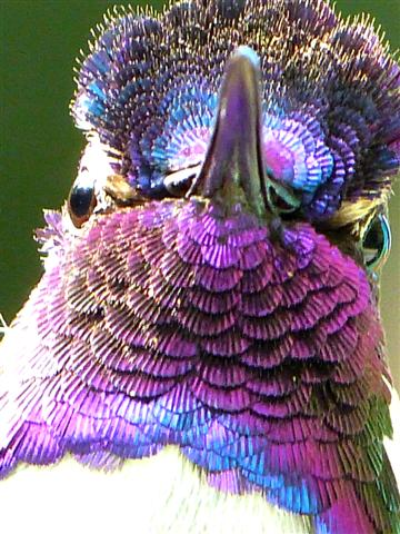 Iridescence of Costa's Hummingbird's Feathers