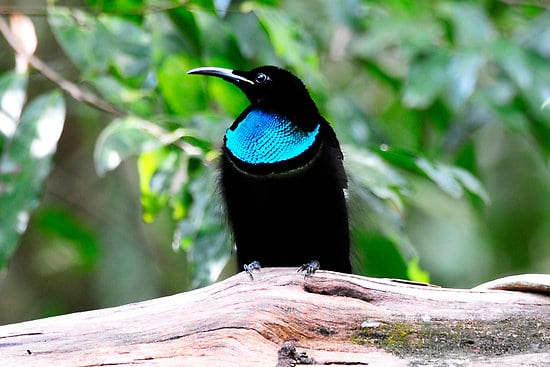 Animal A Day!: Magnificent Riflebird