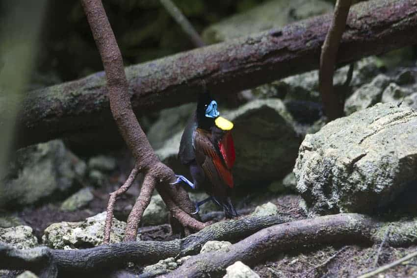 Birds of Paradise in West Papua
