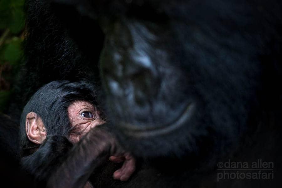 Mountain Gorilla (Gorilla beringei beringei)