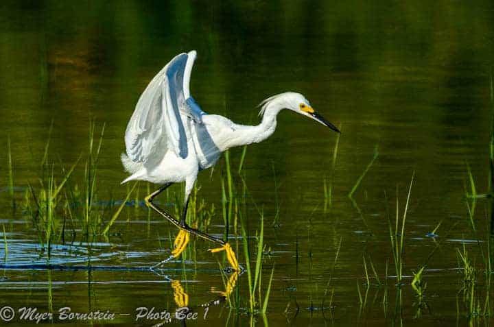 "Snowy Egret (Egretta thula) ""Dance"""