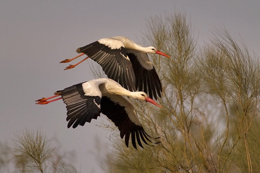 Storks could become poisoned by pesticides during their migration to Africa