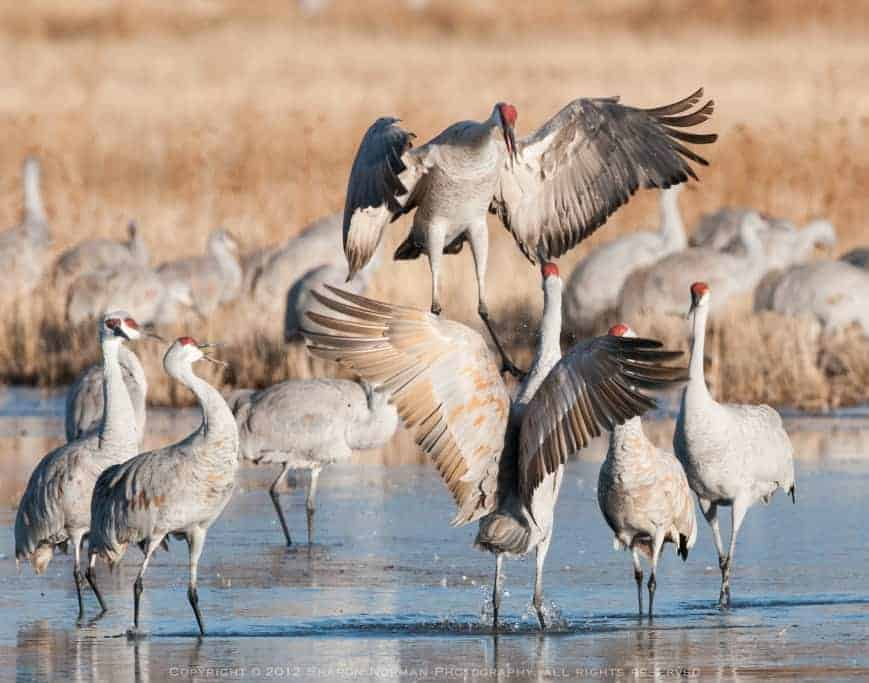 Dancing Sandhill Cranes Of Bosque del Apache, New Mexico