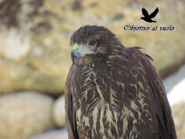 Aguila harris (Parabuteo unicinctus)