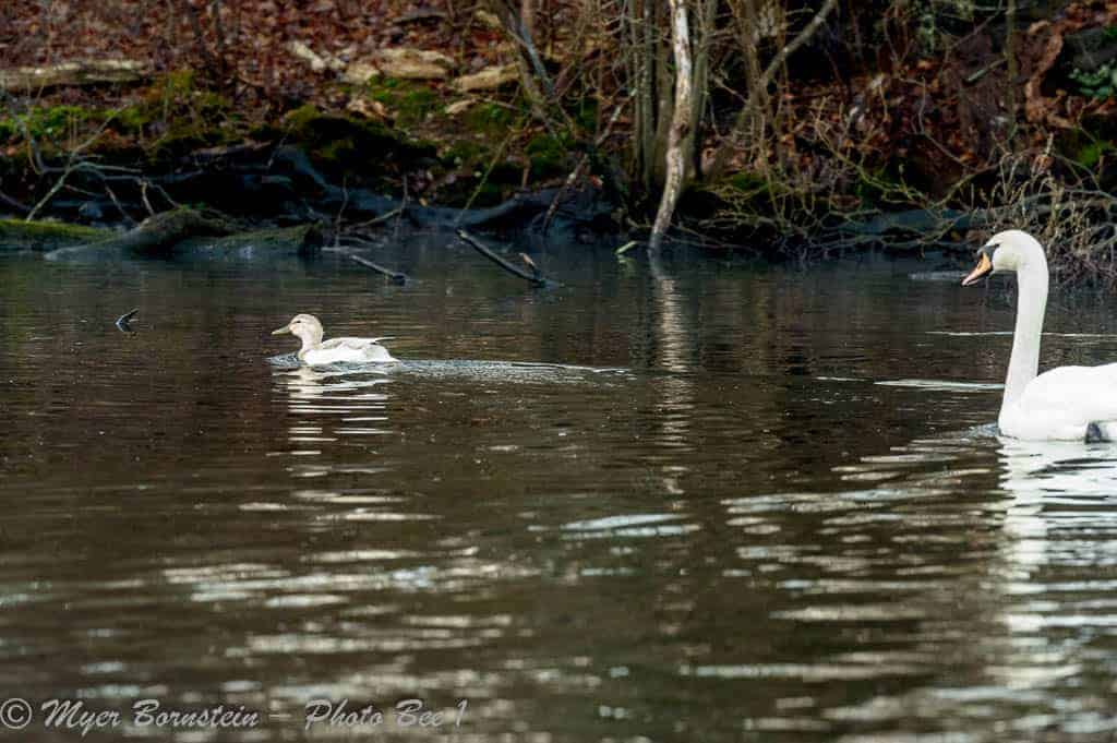 Duck Chased by Swan