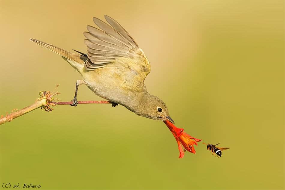Fio Fio (Elaenia albiceps) and Wasp
