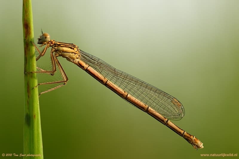 Growing Damselfly after emerging