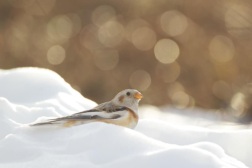 Birdwatch: Snow bunting