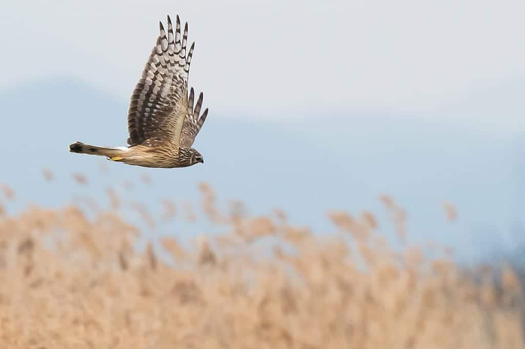 Female Hen Harrier Hunting