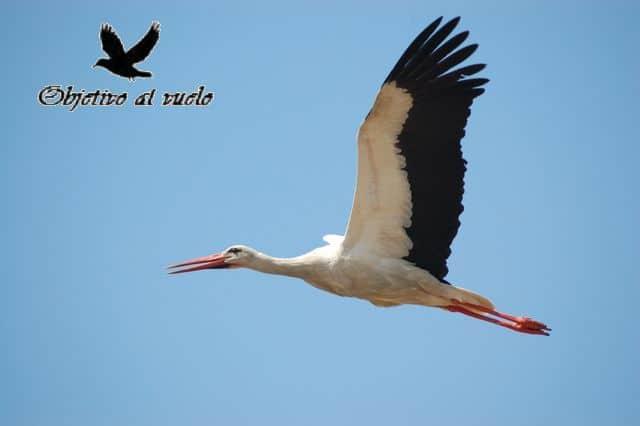 Cigueña blanca – White Stork (Ciconia ciconia)