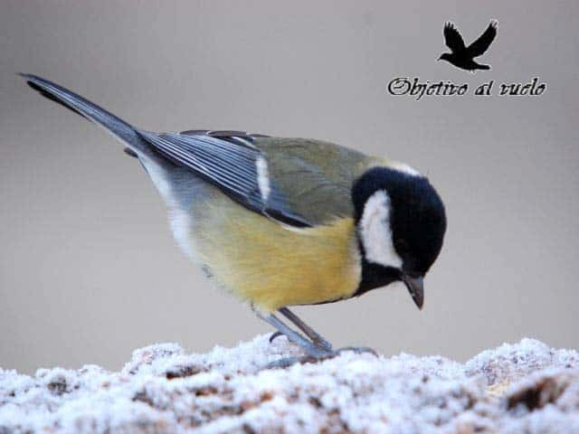 Carbonero comun – Great Tit (Parus major)