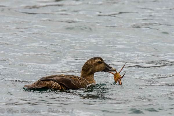 Common Eider Eating a Crab