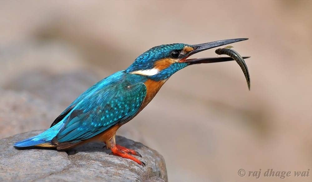 King of Fishers – the Common Kingfisher