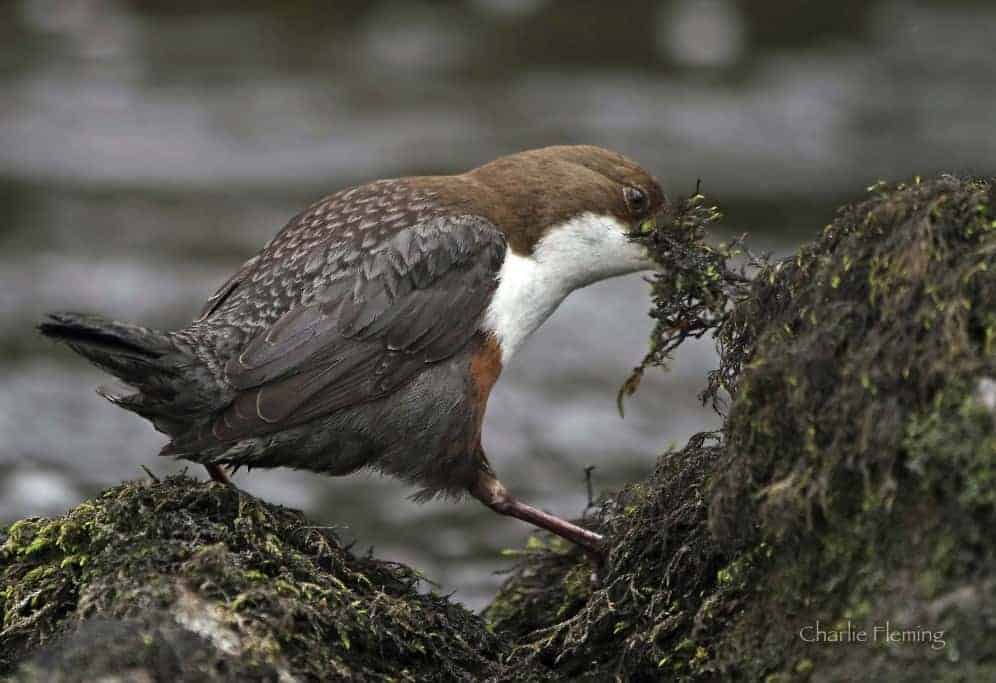 Another very close Dipper encounter.