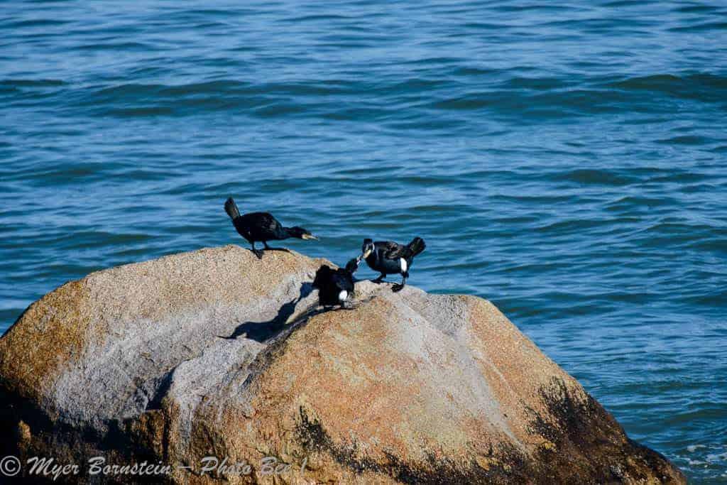 Great Cormorant (Phalacrocorax carbo )