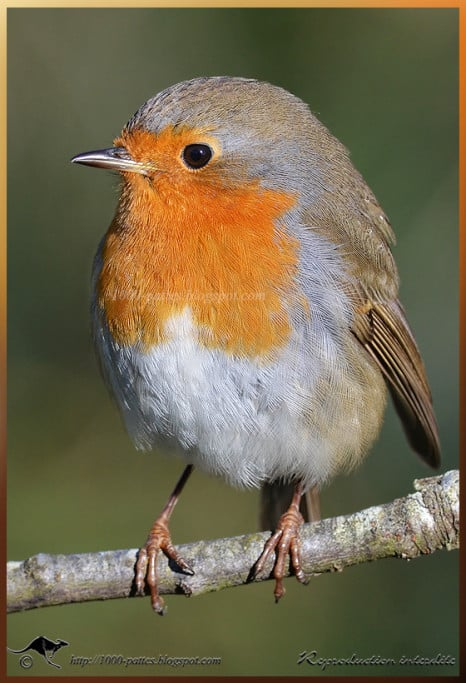 Robin (Erithacus rubecula) by Noushka Lavril