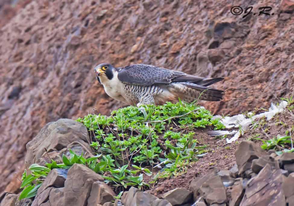 Peregrine Falcon – Falco peregrinus
