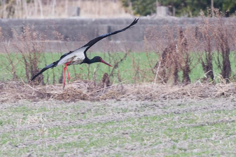 Black Stork | Ciconia nigra