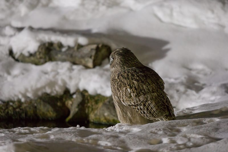 Blakiston's Fish Owl – Bubo blakistoni