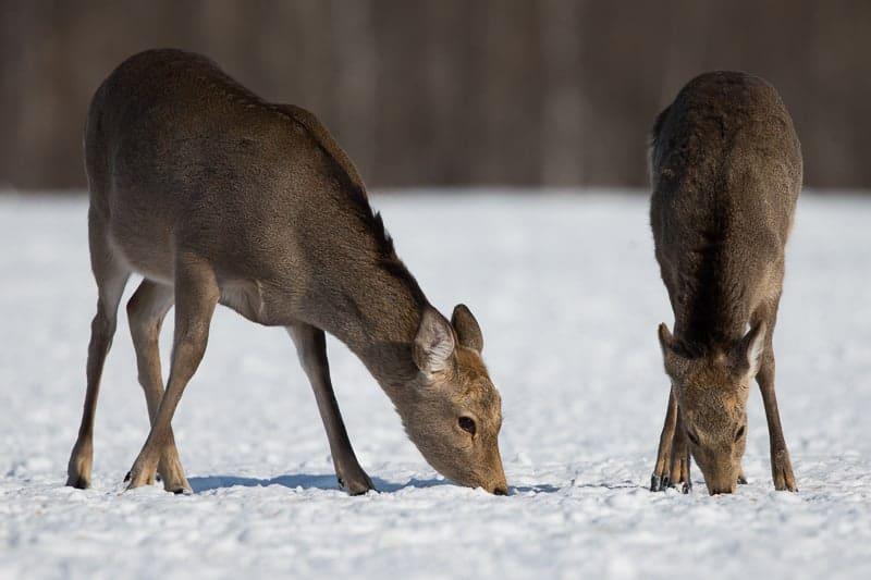 Mammals of Eastern Hokkaido