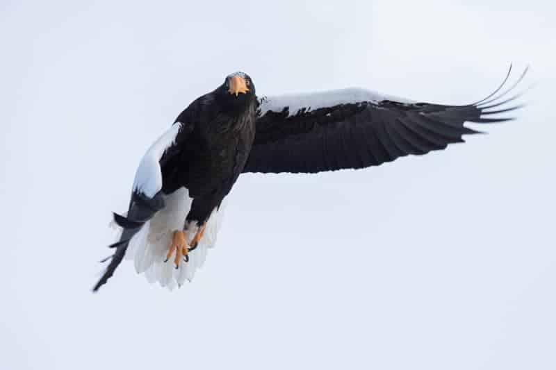 Steller's Sea Eagle – Haliaetus pelagicus