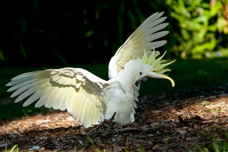 Sulfur-crested cockatoos