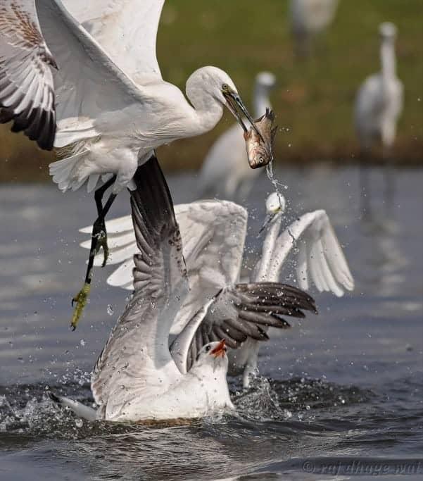 Little Egrets VS Brown-headed Gulls