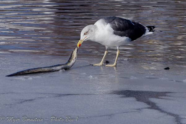 Lesser Black-backed Gull (Larus fuscus) A Winter Visitor