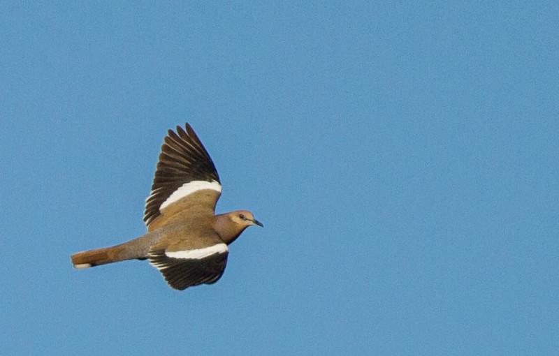 White Winged Dove Focusing On Wildlife