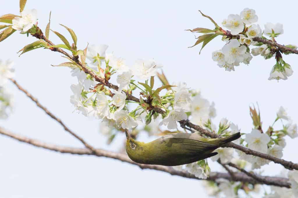 Japanese White-eye with Cherry Blossoms