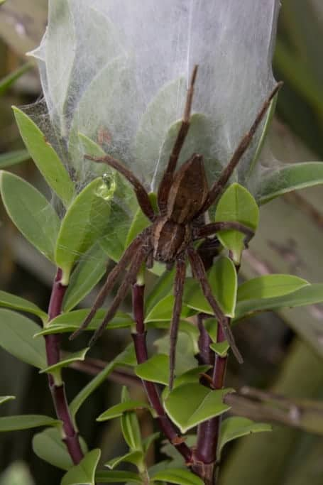 Nursery Spiders