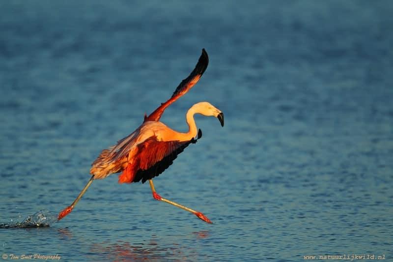 Flamingo's in Holland