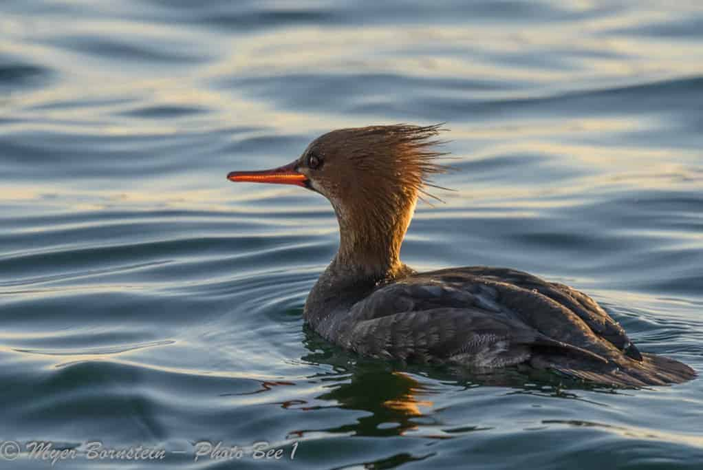 Red-breasted Merganser (Mergus serrator) – female vs first winter male