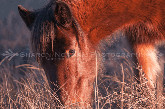 The Wild Ponies Of Chincoteague Island, VA