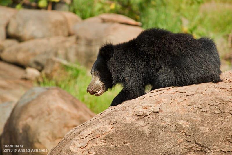 Sloth Bear from Daroji Bear Sanctuary
