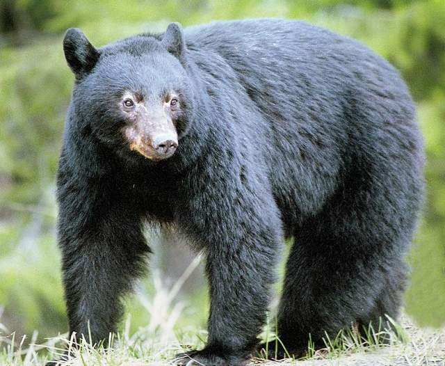 Nevada's black bears could be moving east