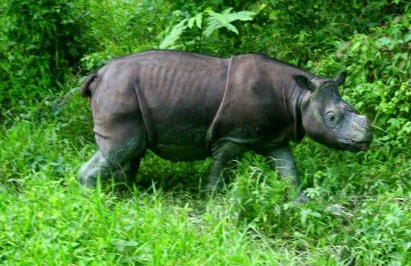 Sumatran rhino found in Kalimantan after unseen in region for 20 years