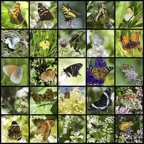 Flower Hill Farm Butterflies of 2012
