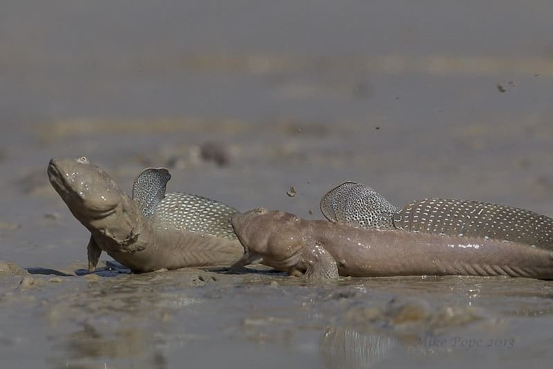 The Inter-tidal Mudskippers of Kuwait