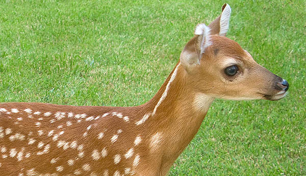 "Leave ""abandoned"" fawns where you find them"
