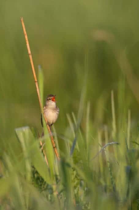 Oriental Reed Warbler (Acrocephalus orientalis)