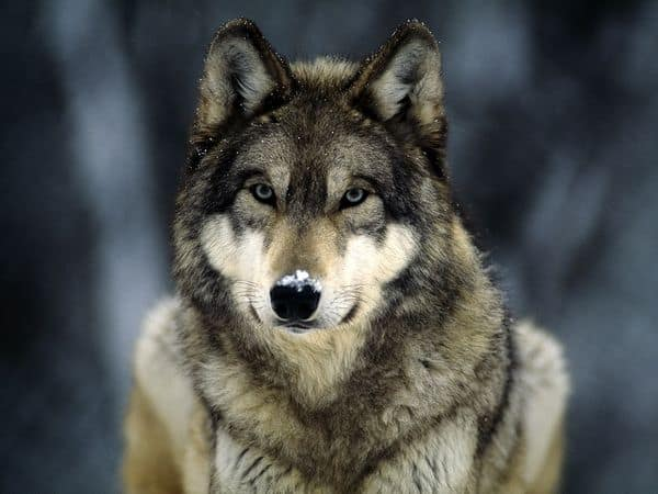POLL: Should the wolf hunting contest in Idaho be stopped?
