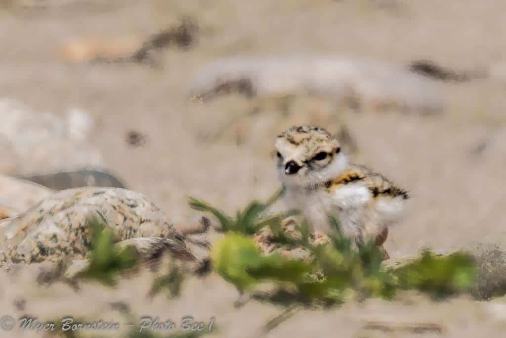 Piping Plover – Charadrius melodus