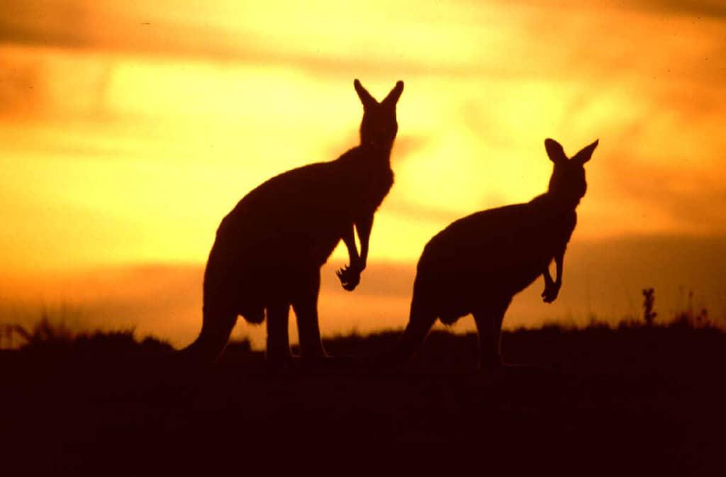 Massive Annual Slaughter of Grey Kangaroos in Australia